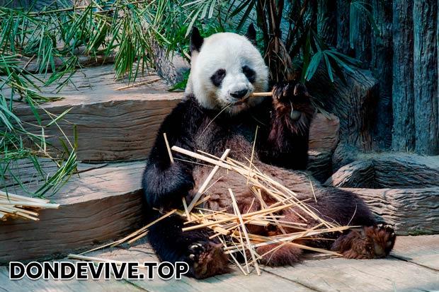 El territorio habitado por los osos pandas es pequeño