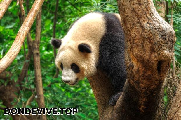 El oso panda, a diferencia de otros osos, tiene una cola bastante larga