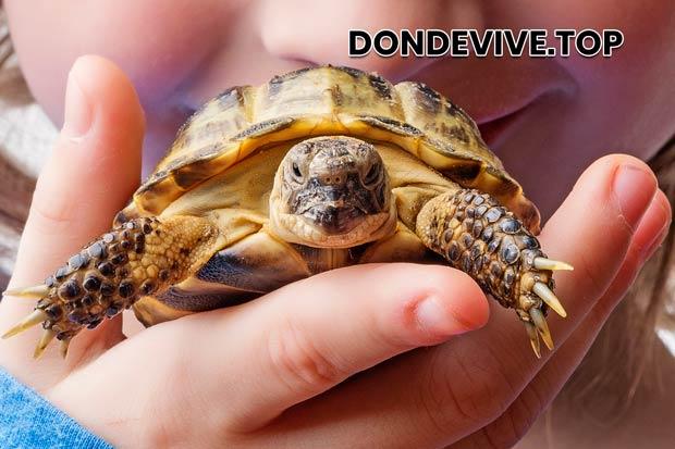 El tamaño de la tortuga y la forma del caparazón dependen del clima.