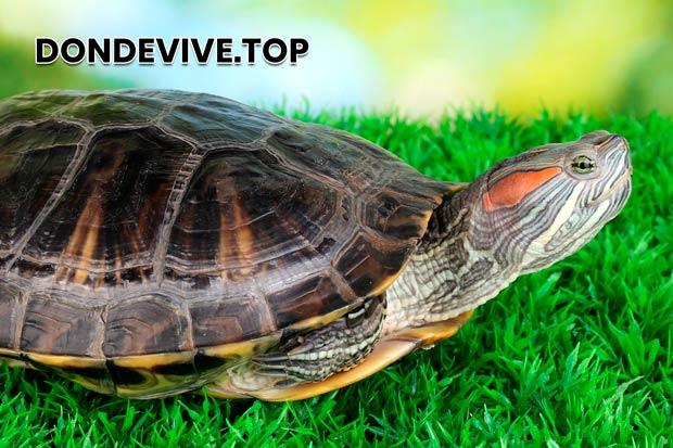 La parte superior del caparazón de la tortuga pintada tiene una superficie lisa, y su color puede ser verde oliva o negro.
