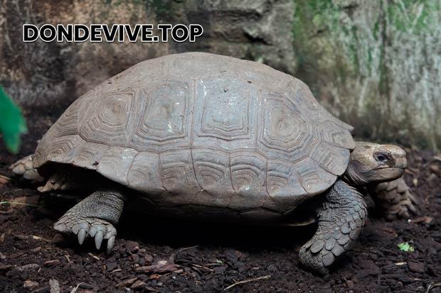 La tortuga de Asia Central es un pequeño reptil con un tamaño de caparazón de hasta 20 cm.