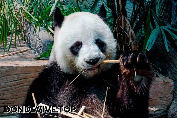 La maduración sexual en los osos de bambú llega a 5-7 años, pudiendo tener de 1 a 2 cachorros.