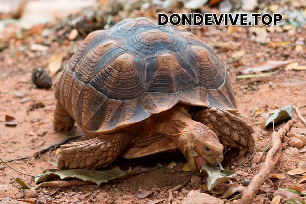 La tortuga egipcia vive en el norte de África y en los países del Cercano Oriente.
