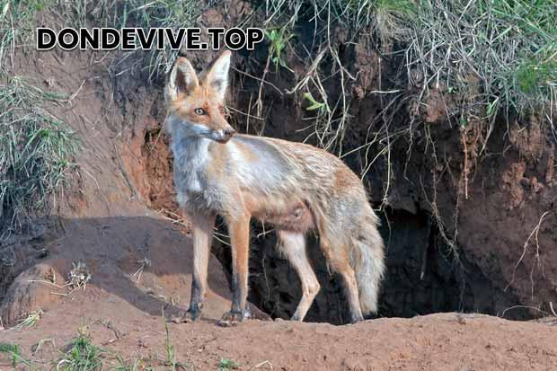 El zorro pueden construir sus madrigueras en hoyos subterráneos