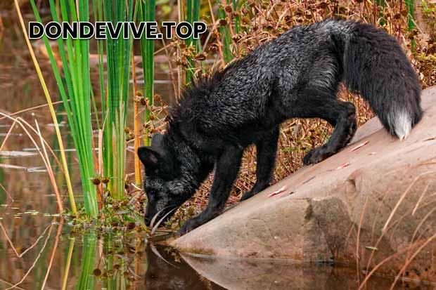 Un zorro negro bebiendo agua