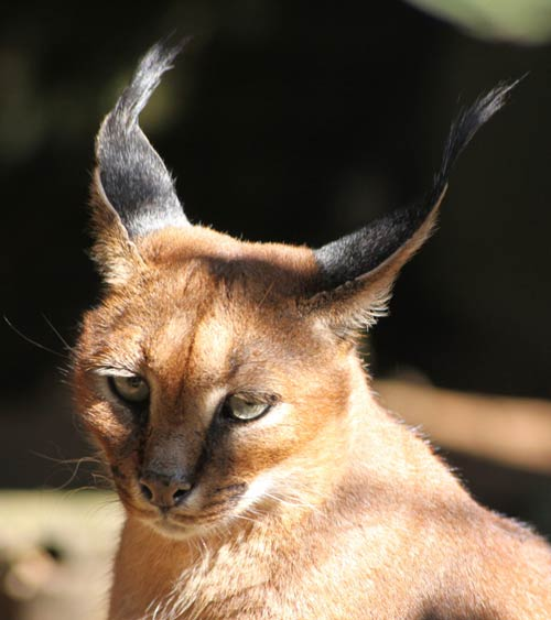 Caracal felino africano