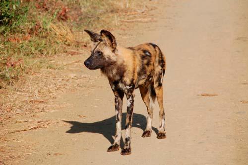 El licaón pictus es un animal gregario y formando manadas de hasta 40 ejemplares de perros salvajes africanos