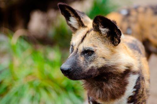 El nombre científico de los perros de caza africanos, Lycaon pictus