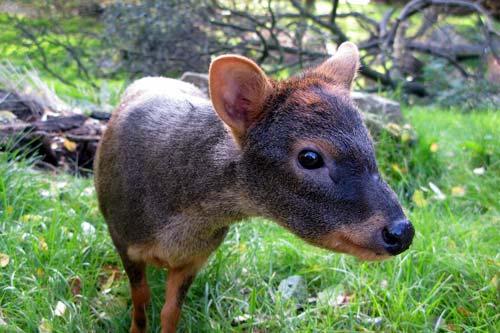 Los pudú del sur son animales solitarios y solo se juntan durante la época de reproducción, o celo, en abril y mayo.