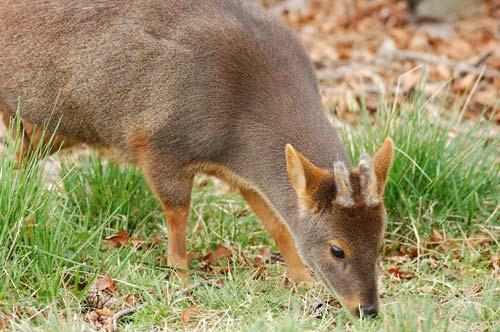 El pudú es uno de los ciervos más pequeños, también es uno de los ungulados más pequeños.