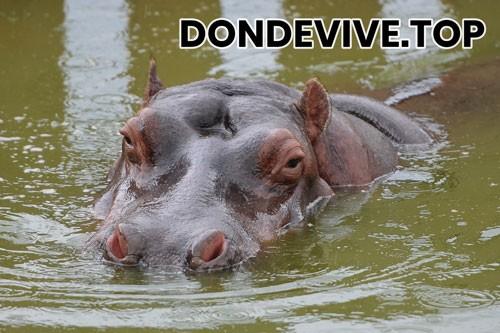 hipopótamo enano o pigmeo