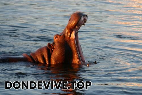 Hipopotamo en su habitat