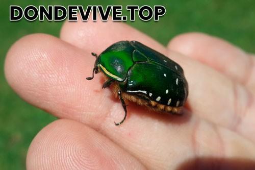 escarabajo verde de junio Cotinis mutabilis
