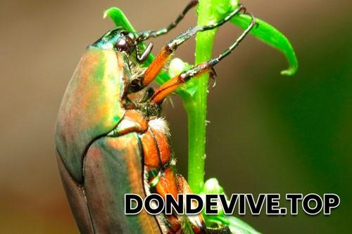 Mayate escarabajo verde de junio