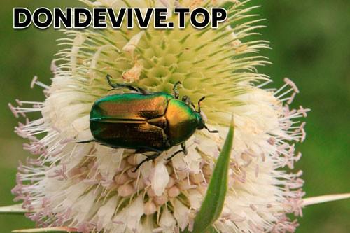 Mayate escarabajo verde de junio Cotinis mutabilis