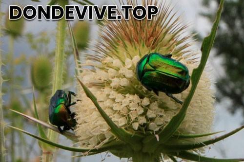Escarabajo verde de junio