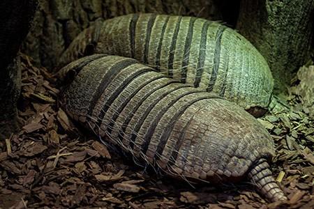 Mamíferos placentarios del orden Cingulata