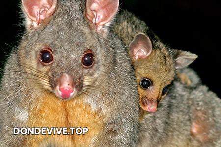 Marsupial americano finge su muerte