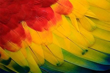alas coloridas de las guacamayas