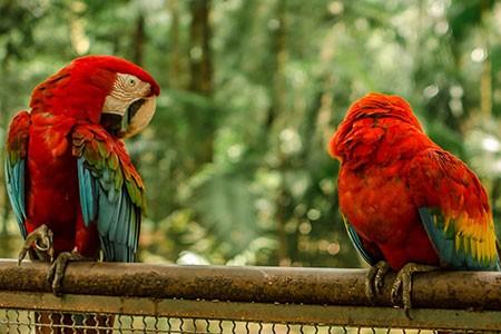 Guacamaya roja Costa Rica