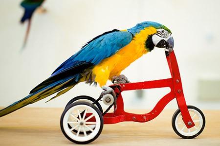 Guacamaya mascota triciclo